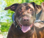 BRUNA Labrador Mischling - menschenfreundlich und