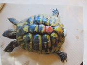 Grieschisches Landschildkröten Männchen