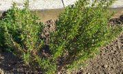 Rosmarin Pflanze Rosmarin Busch