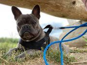 Deckrüde Französische Bulldogge Blue tan