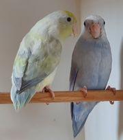 Wunderhübsches Blaugenick Sperlingspapageien Paar