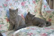 Reinrassige BKH Kätzchen in Blau