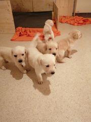 10 süße Labrador Retriever Welpen