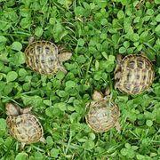 Steppenschildkröte Testudo horsfieldii russische Landschildkröte