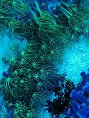 Korallenableger abzugeben