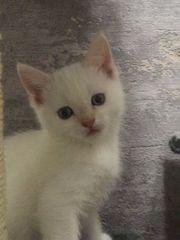 Kitten Mix Ragdol-BKH