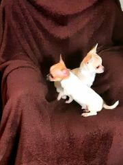 Reinrassige MINI Chihuahua Welpen