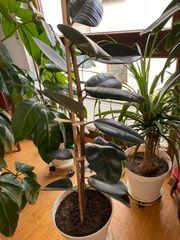 Zimmerpflanze Gummibaum