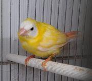 Dreifarbige Papageiamadinen Henne von 2021