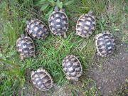 2 Jahre alte Breitrandschildkröten