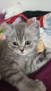 Süsse BKH-Kitten Katzenbaby Abgabe Sofort