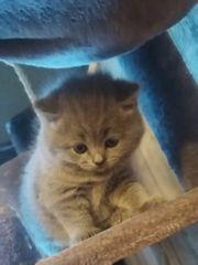 4 Reinrassiege Süße Kuscheln Kitten