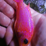 Aulonocara Red Fire Fish