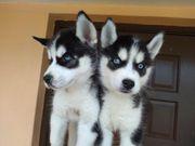 Schon Siberian husky Huskywelpen