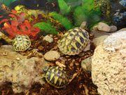 Schildkröte Griechischer Landschildkröte Testudo Hermanni