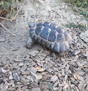 männliche Maurische Landschildkröte NZ 04