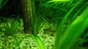 Verkaufe diverse Sorten Corydoras Panzerwelse