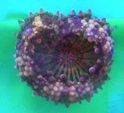 Meerwasser Korallen Mini Scheibenanemone