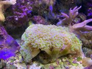Meerwasser Euphyllia paraancora