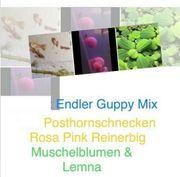 Guppy Endler Mix Aquarium Fisch