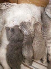 Bkh Kitten können reserviert werden