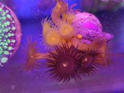 Korallenpaket Anfänger 10er Set