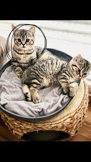 zwei süße Bkh Kitten