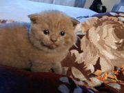 Bkh kitten alle schon reserviert