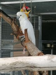suche kakadu papagei