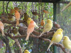 Kanarienvögel von 2019 und 2020: Kleinanzeigen aus Birkenheide Feuerberg - Rubrik Vögel