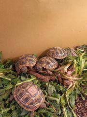 Griechische Landschildkröte aus eigener Zucht