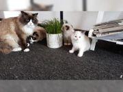 4 Ragdoll kätzchen abzugen