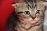BKH Kitten ab sofort reinrassig