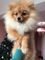 Pomeranian Typ Boo FCI