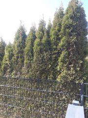 Thuja Smaragt 2 10m hoch