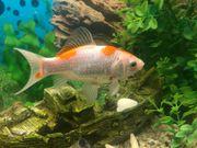 Goldfisch kostenlos abzugeben