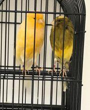 Yorkshire Kanarienvögel