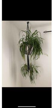 Grünlilie hängende Pflanze