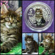 Silbermünze Vanuatu MAINE COON Katze