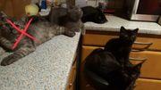BKH Kitten suchen ein liebevolles