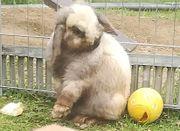 Minilop Zwergwidder Kaninchen Jungtiere Babys