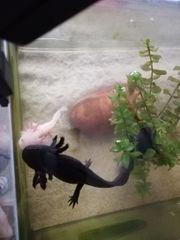 3 Axolotl