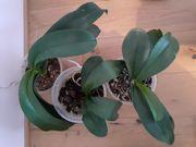 Orchideen zu verschenken