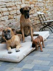 Deutsche Doggenwelpen gelb