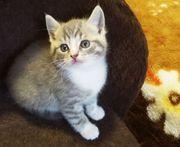 3 süße BKH-Kitten suchen ein