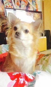 Pflegestelle gesucht für Chihuahuamädchen