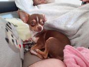 wunderschöne reinrassige Chihuahua Hündin abzugeben