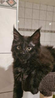 Reinrassige Main Coon Kater