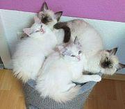 Super süße Ragdoll Kitten