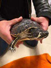 Cumberland Mischling Schildkröte